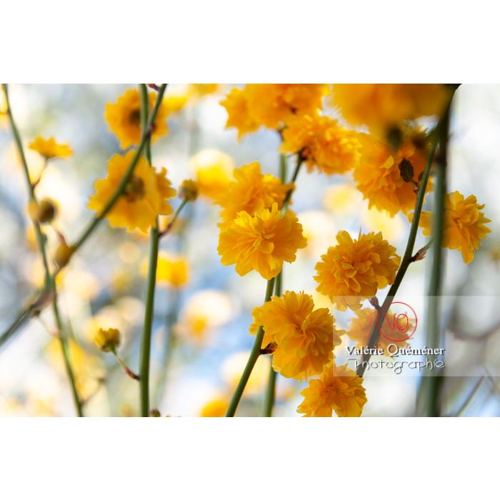 Fleurs jaunes du Corète du Japon (Kerria Japonica) - Réf : VQF&J-10075 (Q3)