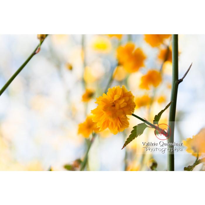 Fleurs jaunes du Corète du Japon (Kerria Japonica) - Réf : VQF&J-10077 (Q3)