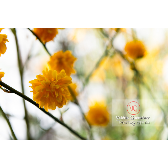 Fleurs jaunes du Corète du Japon (Kerria Japonica) - Réf : VQF&J-10078 (Q3)