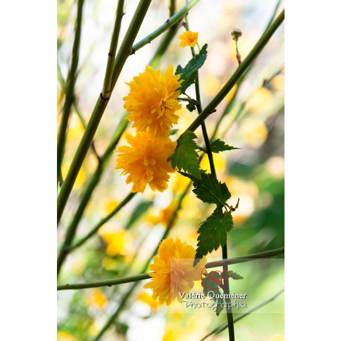 Fleurs jaunes du Corète du Japon (Kerria Japonica) - Réf : VQF&J-10079 (Q3)
