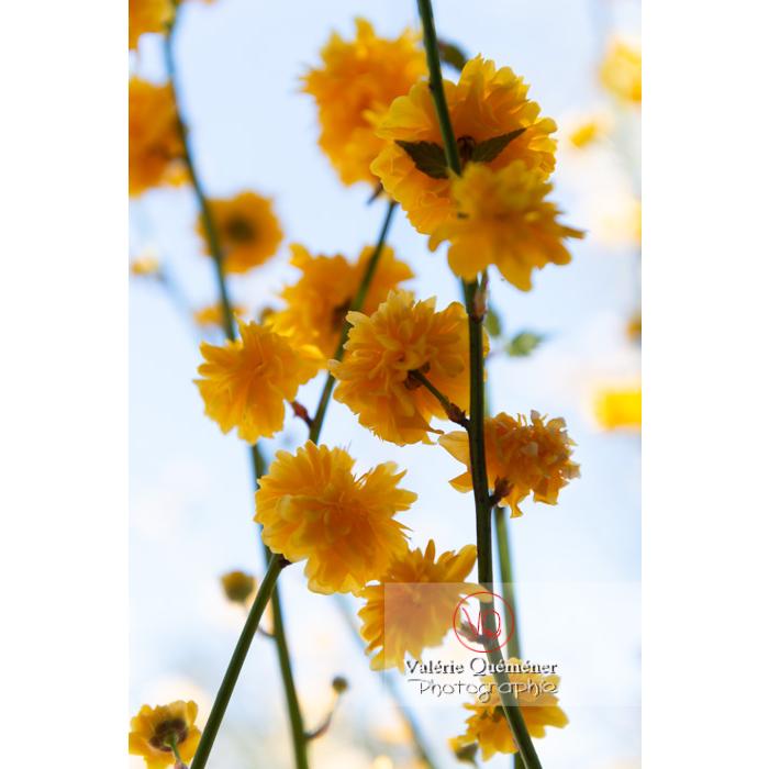 Fleurs jaunes du Corète du Japon (Kerria Japonica) - Réf : VQF&J-10080 (Q3)