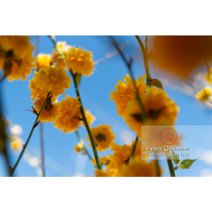 Fleurs jaunes du Corète du Japon (Kerria Japonica) - Réf : VQF&J-10081 (Q3)