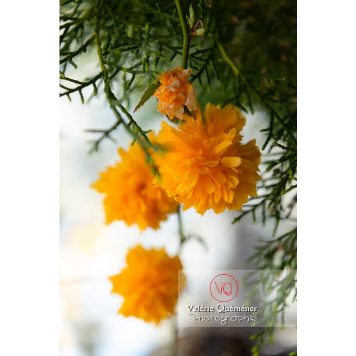 Fleurs jaunes du Corète du Japon (Kerria Japonica) - Réf : VQF&J-10082 (Q3)