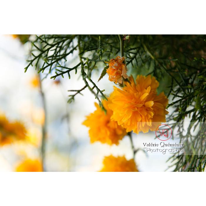 Fleurs jaunes du Corète du Japon (Kerria Japonica) - Réf : VQF&J-10083 (Q3)
