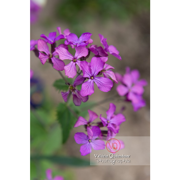 Fleurs de la monnaie-du-pape ou lunaire (lunaria sp) - Réf : VQF&J-10085 (Q3)