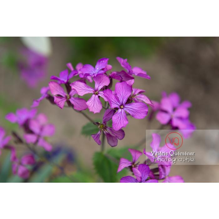 Fleurs de la monnaie-du-pape ou lunaire (lunaria sp) - Réf : VQF&J-10086 (Q3)