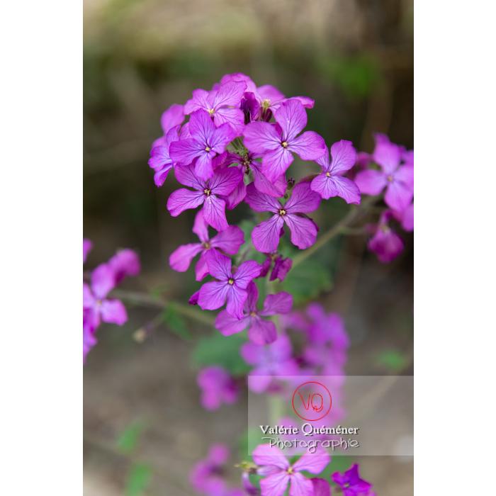 Fleurs de la monnaie-du-pape ou lunaire (lunaria sp) - Réf : VQF&J-10088 (Q3)