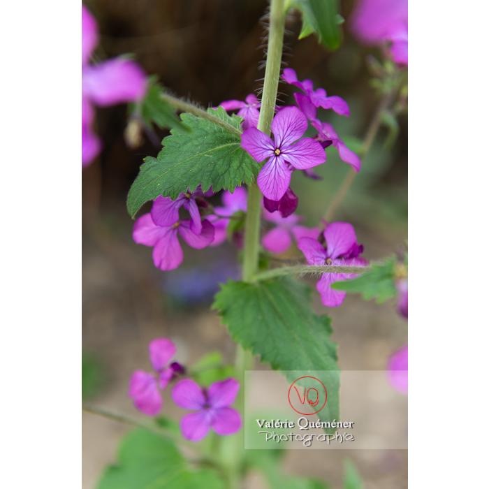 Fleurs et feuilles de la monnaie-du-pape ou lunaire (lunaria sp) - Réf : VQF&J-10090 (Q3)
