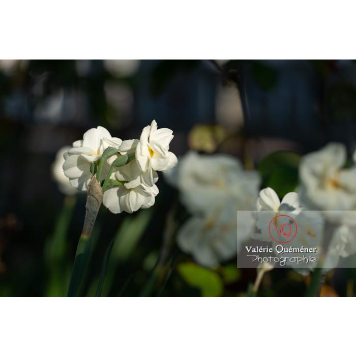 Fleurs double de narcisse à bouquet (narcissus tazetta) - Réf : VQF&J-10095 (Q3)