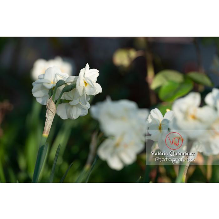 Fleurs double de narcisse à bouquet (narcissus tazetta) - Réf : VQF&J-10096 (Q3)