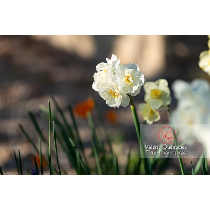 Fleurs double de narcisse à bouquet (narcissus tazetta) - Réf : VQF&J-10097 (Q3)