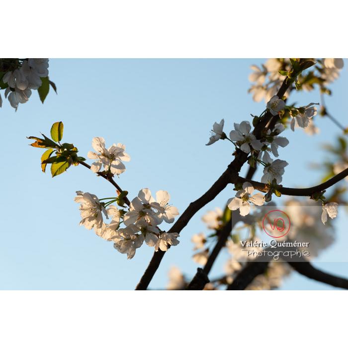 Fleurs blanches d'un cerisier à fruit (prunus avium) / Saône-et-Loire / Bourgogne - Réf : VQF&J-10098 (Q3)