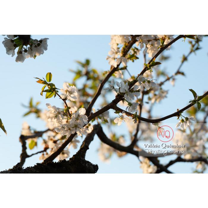 Fleurs blanches d'un cerisier à fruit (prunus avium) / Saône-et-Loire / Bourgogne - Réf : VQF&J-10099 (Q3)
