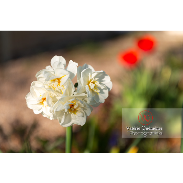 Fleurs double de narcisse (narcissus tazetta) - Réf : VQF&J-10099 (Q3)