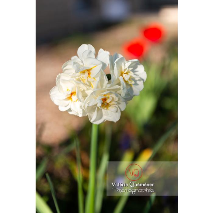 Fleurs double de narcisse (narcissus tazetta) - Réf : VQF&J-10100 (Q3)