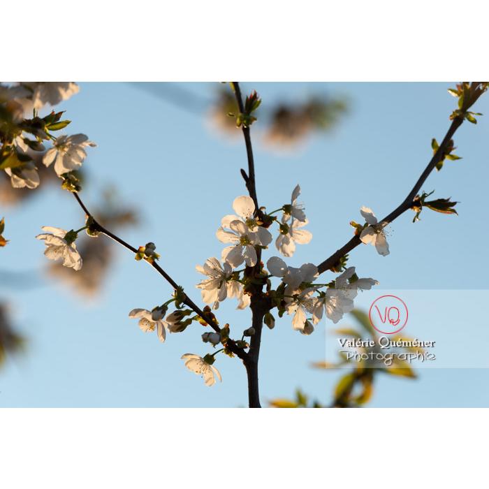 Fleurs blanches d'un cerisier à fruit (prunus avium) / Saône-et-Loire / Bourgogne - Réf : VQF&J-10102 (Q3)