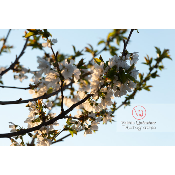 Fleurs blanches d'un cerisier à fruit (prunus avium) / Saône-et-Loire / Bourgogne - Réf : VQF&J-10103 (Q3)