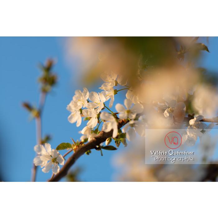 Fleurs blanches d'un cerisier à fruit (prunus avium) / Saône-et-Loire / Bourgogne - Réf : VQF&J-10104 (Q3)