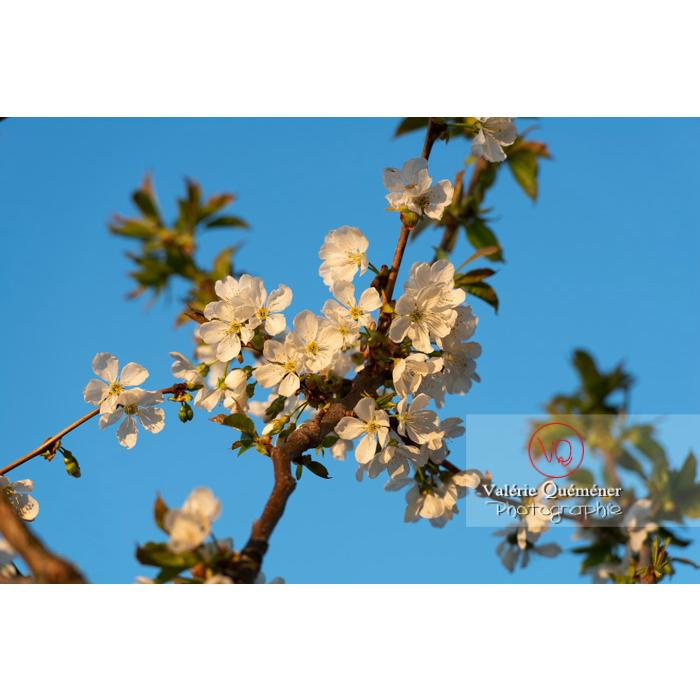 Fleurs blanches d'un cerisier à fruit (prunus avium) / Saône-et-Loire / Bourgogne - Réf : VQF&J-10106 (Q3)