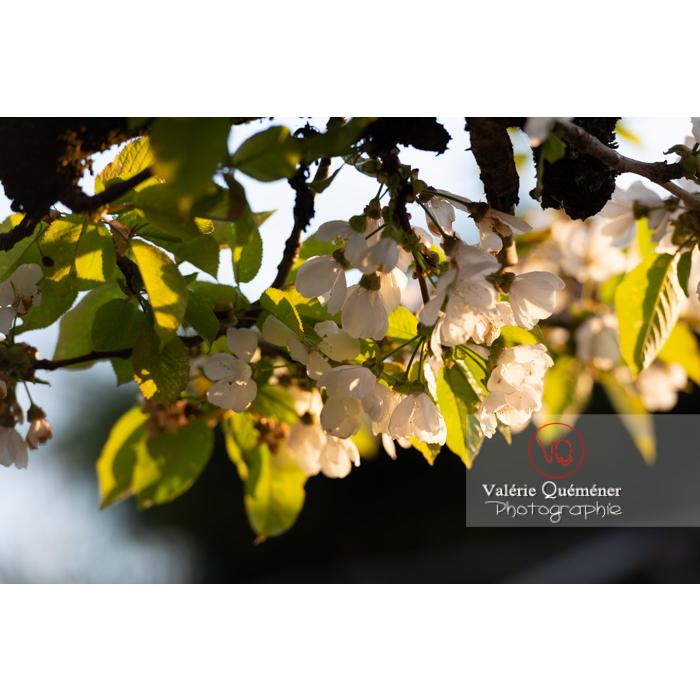 Fleurs blanches et feuilles d'un cerisier à fruit (prunus avium) / Saône-et-Loire / Bourgogne - Réf : VQF&J-10108 (Q3)