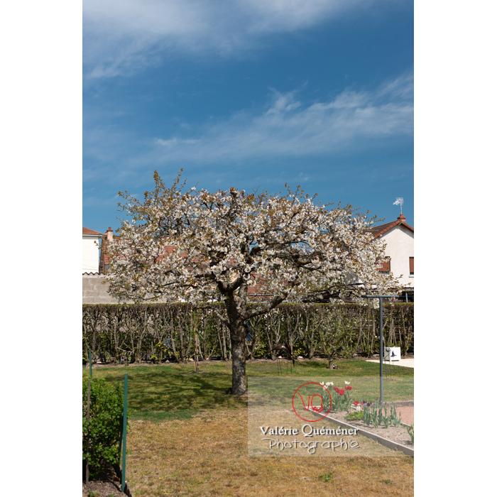 Cerisier à fruit (prunus avium) en fleurs / Saône-et-Loire / Bourgogne - Réf : VQF&J-10109 (Q3)