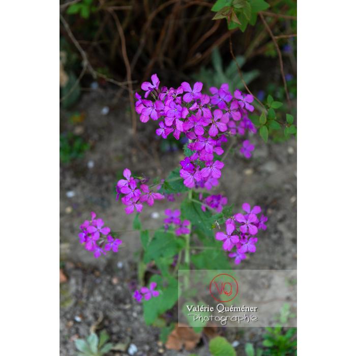 Fleurs de la monnaie-du-pape ou lunaire (lunaria sp) - Réf : VQF&J-10110 (Q3)