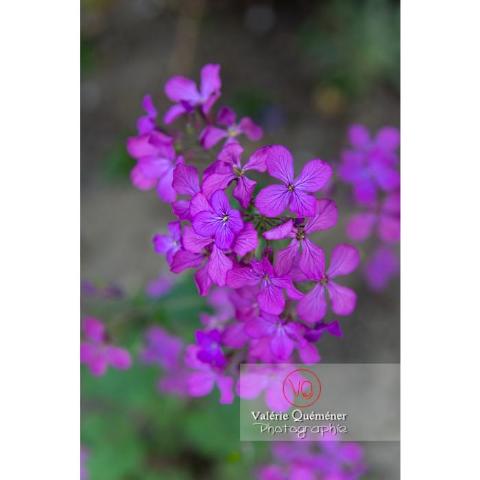 Fleurs de la monnaie-du-pape ou lunaire (lunaria sp) - Réf : VQF&J-10111 (Q3)