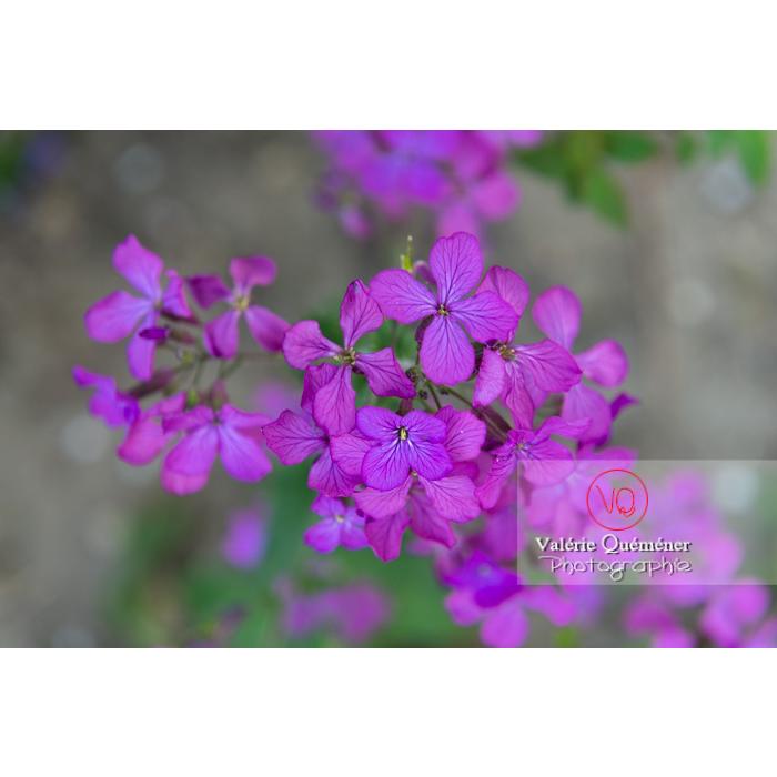 Fleurs de la monnaie-du-pape ou lunaire (lunaria sp) - Réf : VQF&J-10112 (Q3)