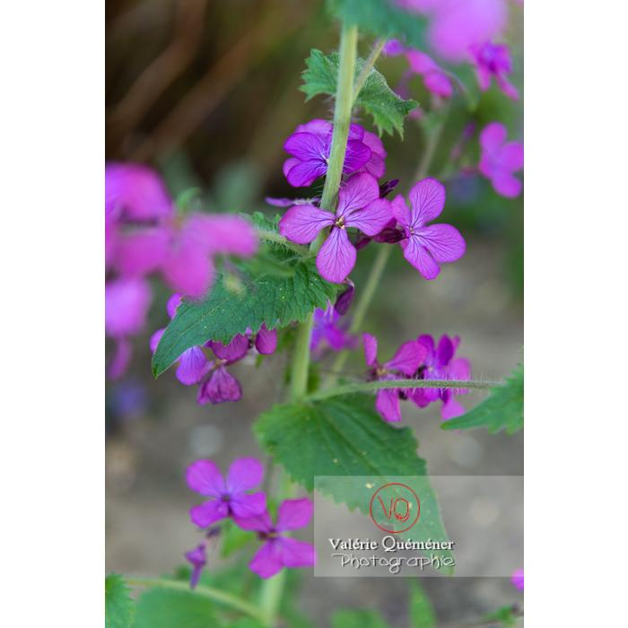 Fleurs et feuilles de la monnaie-du-pape ou lunaire (lunaria sp) - Réf : VQF&J-10114 (Q3)