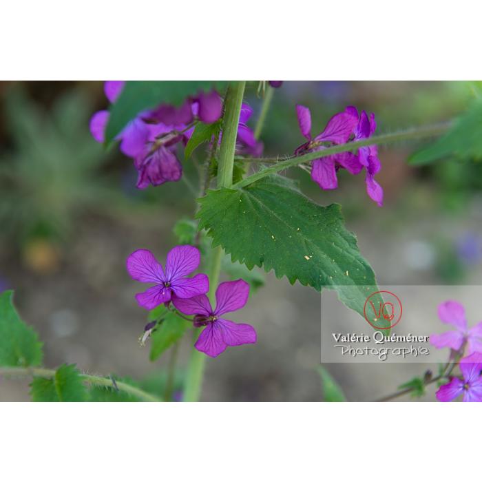 Fleurs et feuilles de la monnaie-du-pape ou lunaire (lunaria sp) - Réf : VQF&J-10115 (Q3)