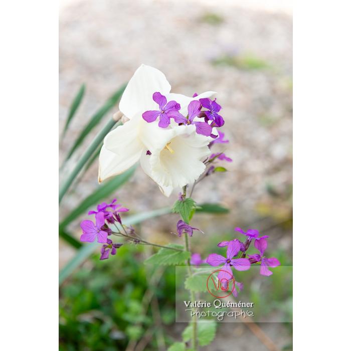 Narcisse blanc et monnaie-du-pape (lunaria sp) - Réf : VQF&J-10121 (Q3)
