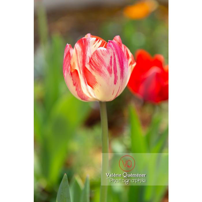 Tulipe panachée rouge et blanc (tulipa sp) - Réf : VQF&J-10123 (Q3)