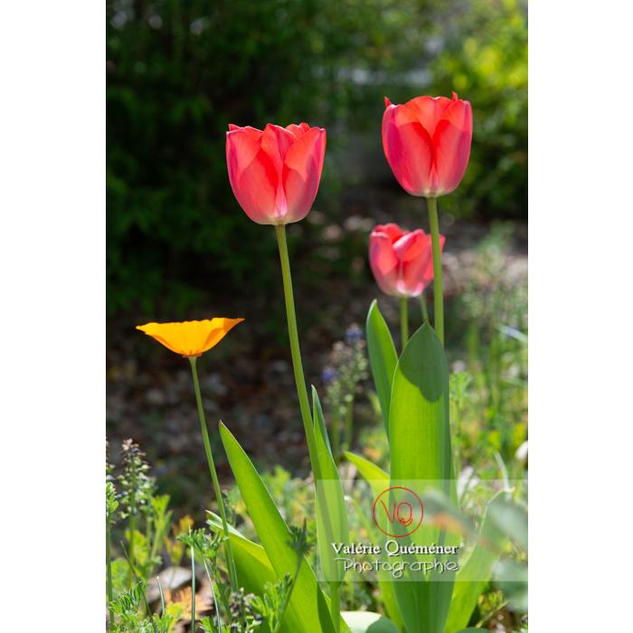 Tulipes rouges (tulipa sp) - Réf : VQF&J-10127 (Q3)