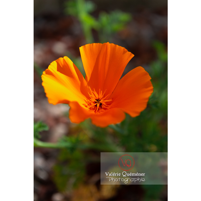 Fleur orange de pavot de Californie (eschscholzia californica) - Réf : VQF&J-10128 (Q3)