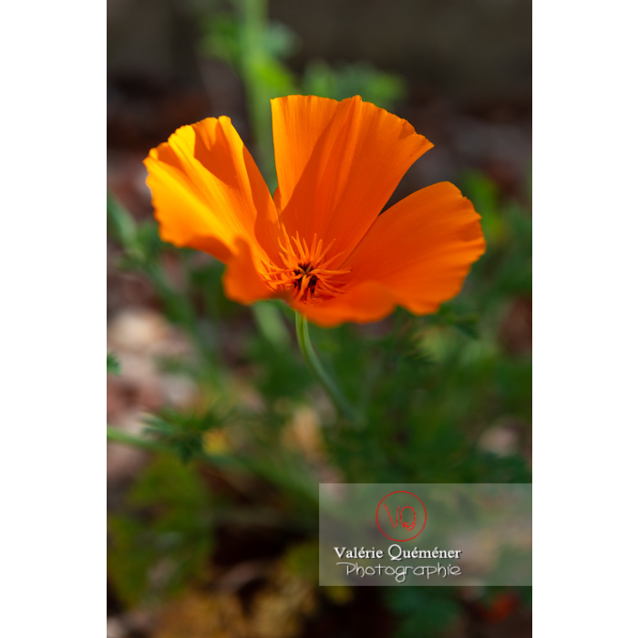 Fleur orange de pavot de Californie (eschscholzia californica) - Réf : VQF&J-10129 (Q3)
