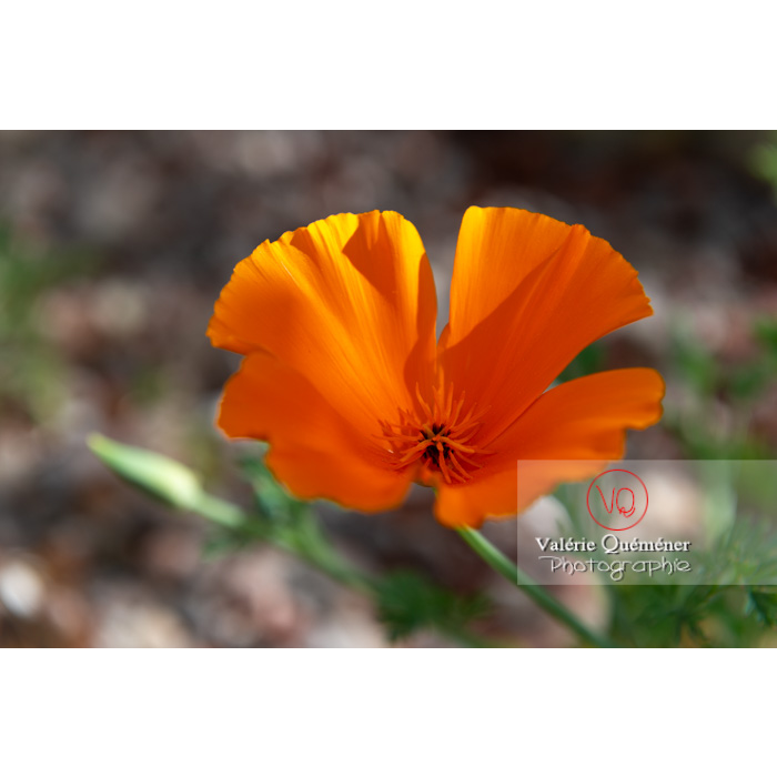 Fleur orange de pavot de Californie (eschscholzia californica) - Réf : VQF&J-10130 (Q3)