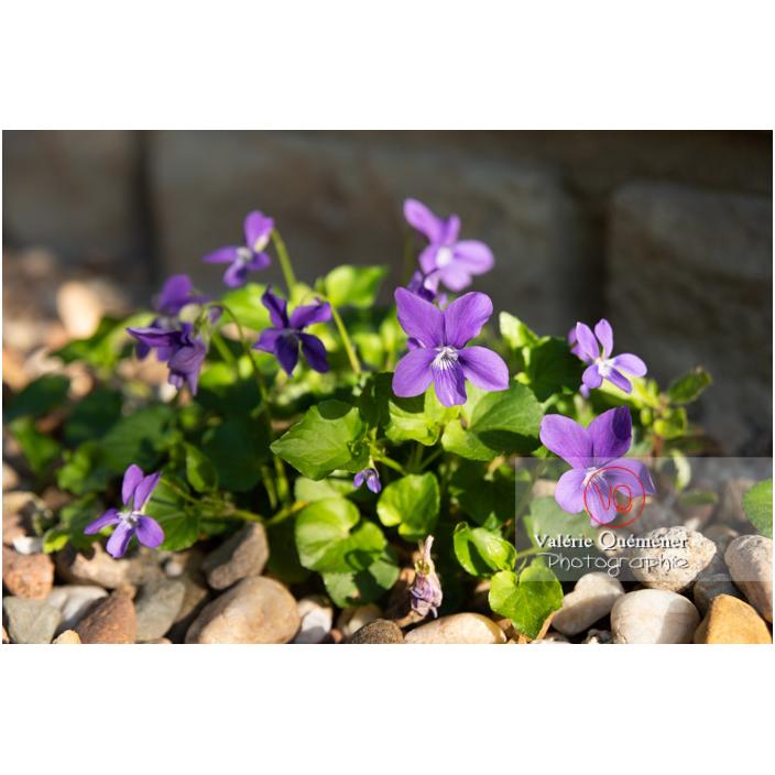 Bouquet de fleurs de violette odorante (viola odorata) sur un sol de gravier - Réf : VQF&J-10146 (Q3)