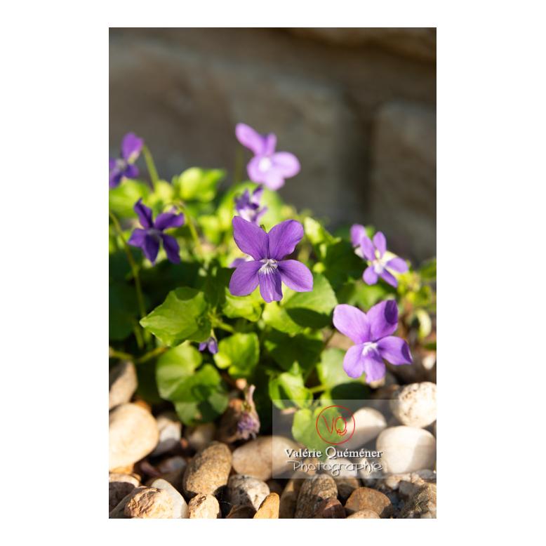 Fleurs de violette odorante (viola odorata) - Réf : VQF&J-10147 (Q3)