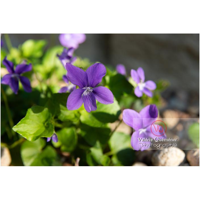Fleurs de violette odorante (viola odorata) - Réf : VQF&J-10148 (Q2)