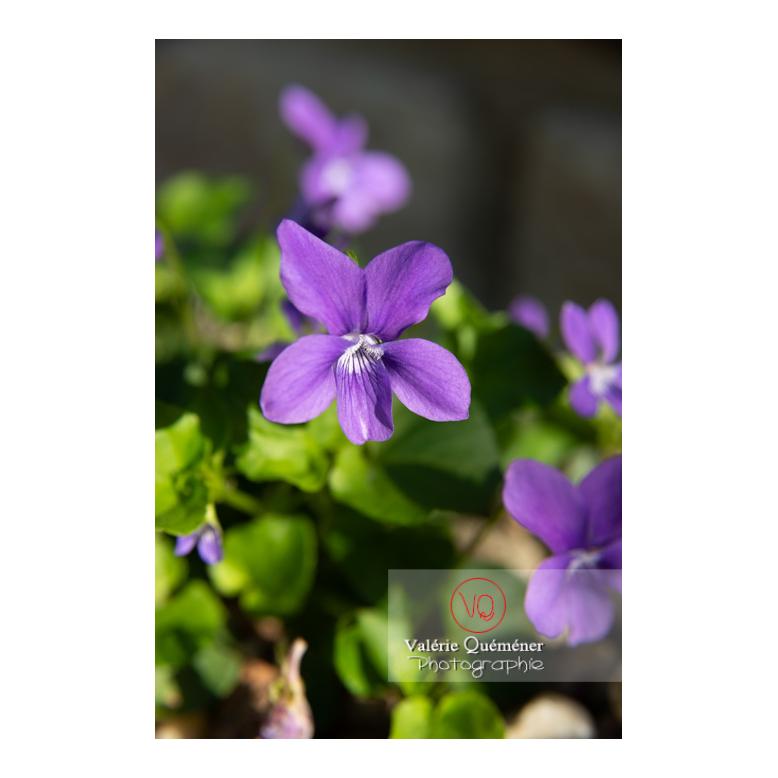 Détail d'une fleurs de violette odorante (viola odorata) - Réf : VQF&J-10149 (Q3)