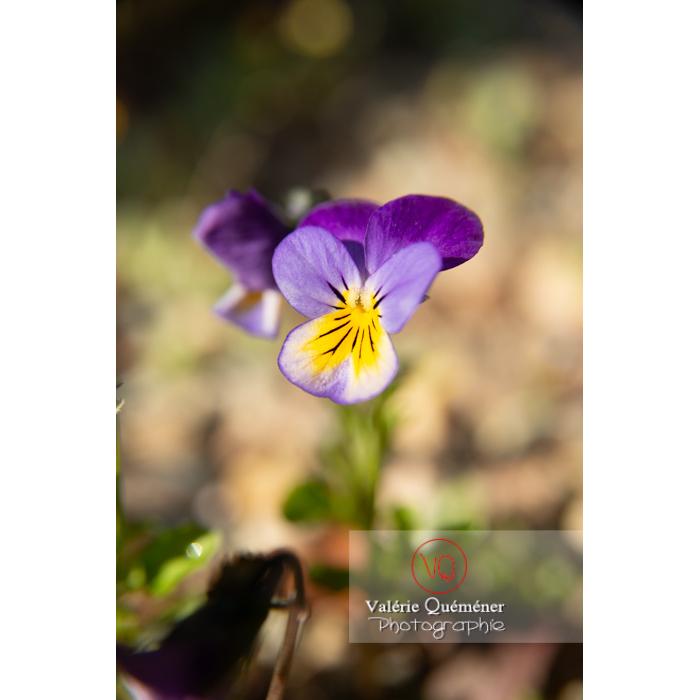 Pensée sauvage (viola tricolor) - Réf : VQF&J-10150 (Q3)