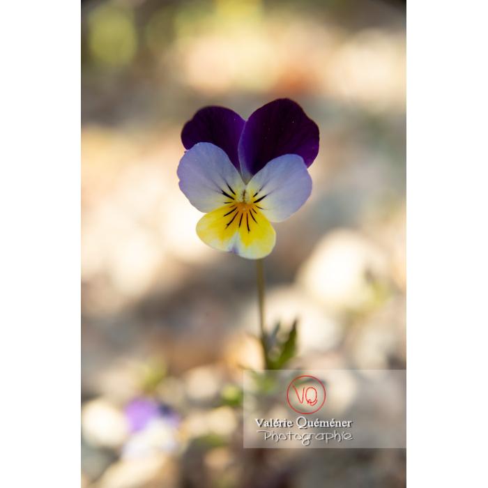 Pensée sauvage (viola tricolor) - Réf : VQF&J-10153 (Q3)