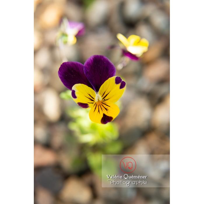 Pensée sauvage (viola tricolor) - Réf : VQF&J-10156 (Q3)