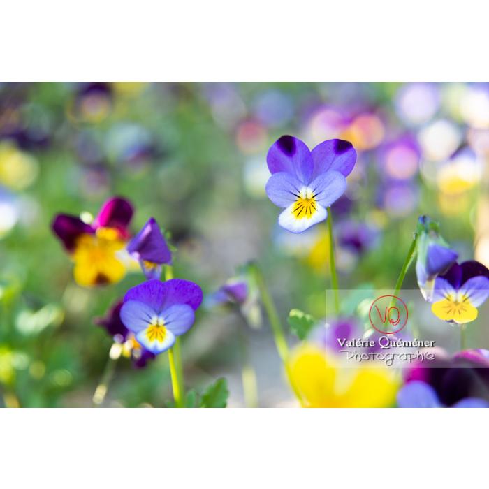Pensées sauvages (viola tricolor) - Réf : VQF&J-10158 (Q3)