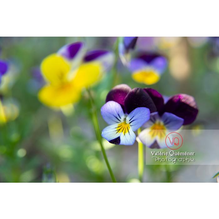 Pensées sauvages (viola tricolor) - Réf : VQF&J-10159 (Q3)