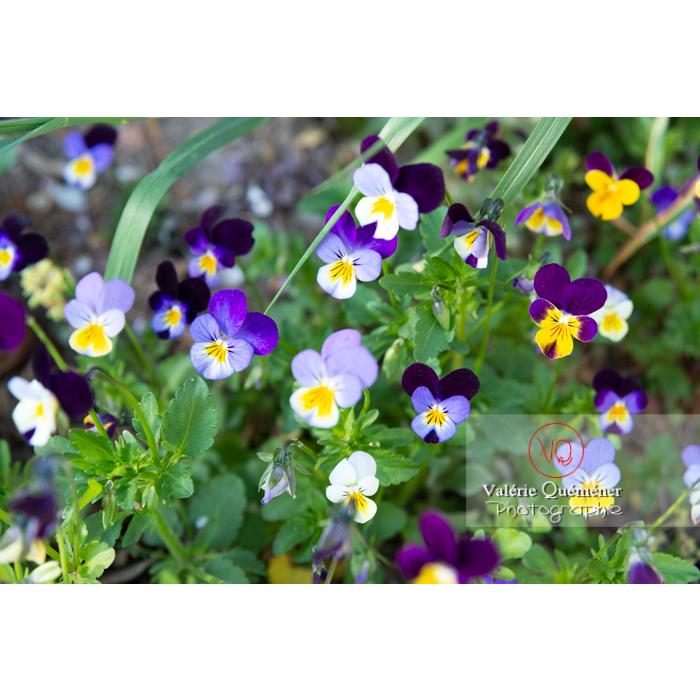 Pensées sauvages (viola tricolor) - Réf : VQF&J-10161 (Q3)