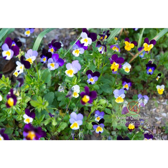 Pensées sauvages (viola tricolor) - Réf : VQF&J-10162 (Q3)