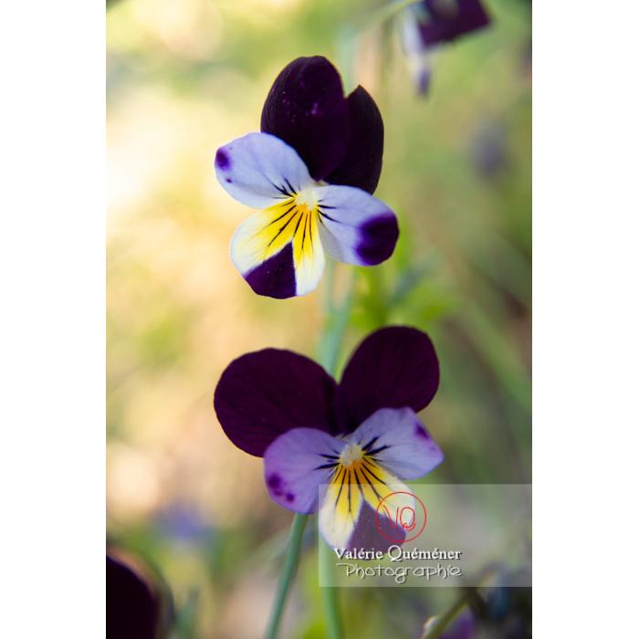 Pensées sauvages (viola tricolor) - Réf : VQF&J-10167 (Q3)