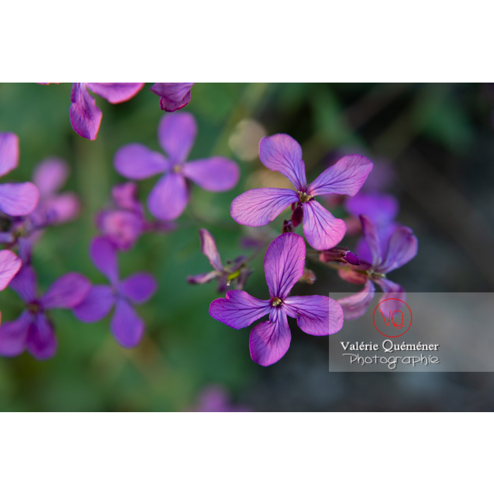 Fleurs de la monnaie-du-pape ou lunaire (lunaria sp) - Réf : VQF&J-10170 (Q3)