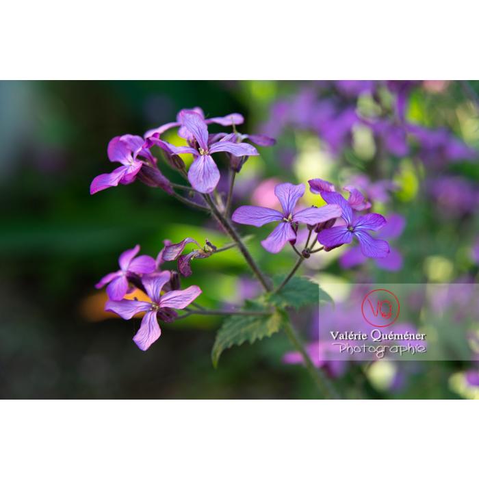 Fleurs de la monnaie-du-pape ou lunaire (lunaria sp) - Réf : VQF&J-10172 (Q3)